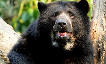 Lanzan salvavidas para conservar el oso de anteojos